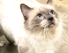 [picture of Willie Nelson, a Siamese Mix blue point/Birman\ cat]