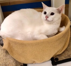 [another picture of Sierra, a Siamese Mix gray point\ cat]