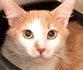 A picture of #ET02425: Guido a Domestic Long Hair orange/white