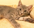 A picture of #ET02426: Bethany a Domestic Short Hair silver