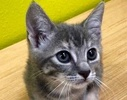 A picture of #ET02427: Lucy a Domestic Short Hair dilute calico