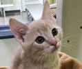 A picture of #ET02429: Little Sampson a Domestic Short Hair dilute orange
