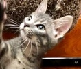 A picture of #ET02430: Tyler a Domestic Short Hair silver