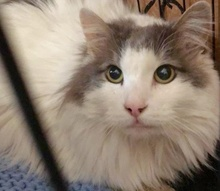 [another picture of Byrd, a Maine Coon-x white/blue\ cat]