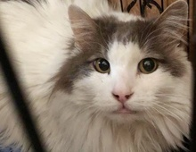 [picture of Byrd, a Maine Coon-x white/blue\ cat]