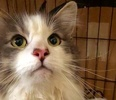 A picture of #ET02432: Willy a Maine Coon-x white/blue