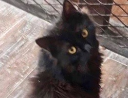 [picture of Moana, a Maine Coon-x black\ cat]