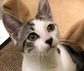 A picture of #ET02434: Jovi a Domestic Short Hair white/gray tabby