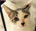 [picture of Jovi, a Domestic Short Hair white/gray tabby cat]