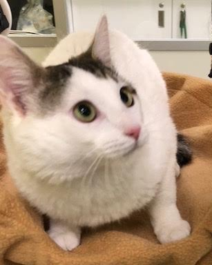 [another picture of Bellagio, a Turkish Van Mix white/gray\ cat]