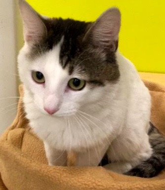 [picture of Bellagio, a Turkish Van Mix white/gray cat]
