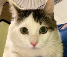 [picture of Bellagio, a Turkish Van Mix white/gray\ cat]