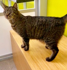 [another picture of Calvin, a Domestic Short Hair brown tabby\ cat]
