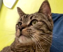 [picture of Calvin, a Domestic Short Hair brown tabby\ cat]