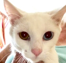 [picture of Corvette, a Oriental Mix white\ cat]