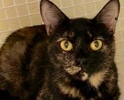 A picture of #ET02438: Calie a Domestic Short Hair calico