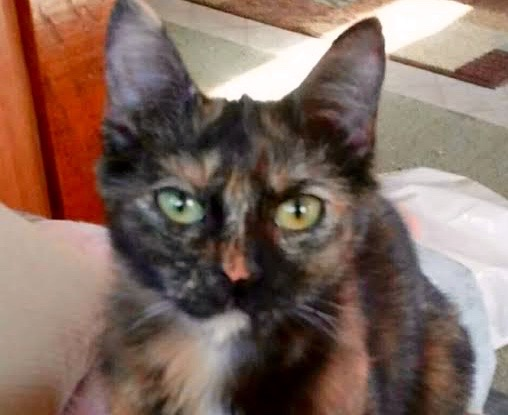 [picture of Felicity, a Domestic Short Hair tortie\ cat]