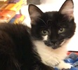 A picture of #ET02441: Mary a Domestic Medium Hair black/white