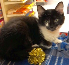 [another picture of Mary, a Domestic Medium Hair black/white\ cat]