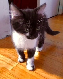 [picture of Mary, a Domestic Medium Hair black/white cat]