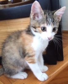 [another picture of Jane, a Domestic Short Hair calico\ cat]