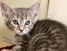 A picture of #ET02443: Randall a Domestic Short Hair silver tabby