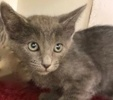 A picture of #ET02444: Kevin a Russian Blue Mix blue