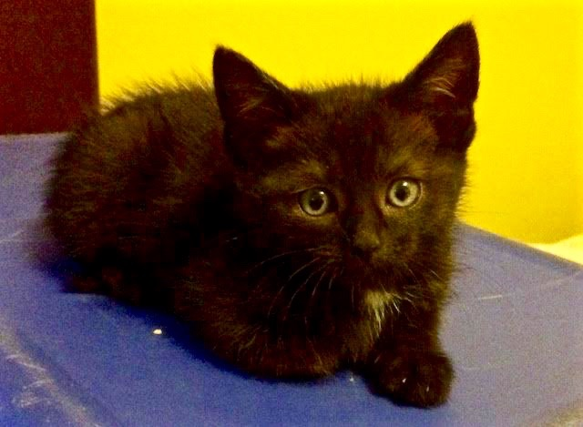 [picture of Jack, a Domestic Short Hair black\ cat]
