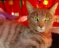 A picture of #ET02447: Daralyn a Domestic Short Hair silver tabby