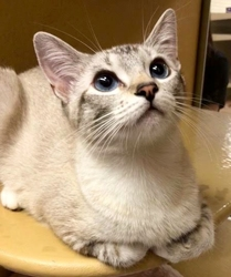 [picture of Miniko, a Siamese lynx point cat]