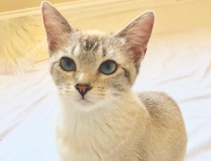 [picture of Miniko, a Siamese lynx point\ cat]