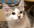 A picture of #ET02450: Mighty a Turkish Van Mix white/blue