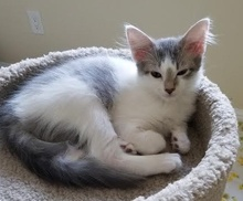 [picture of Mighty, a Turkish Van Mix white/blue cat]