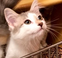 [picture of Mighty, a Turkish Van Mix white/blue\ cat]