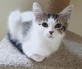 A picture of #ET02451: Janey a Turkish Van Mix white/brown tabby