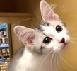 A picture of #ET02452: Rickie a Turkish Van Mix white.brown tabby