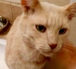 A picture of #ET02454: Bacardi a Domestic Short Hair orange
