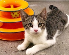 [another picture of Hunnicut, a Domestic Short Hair brown tabby/white\ cat]