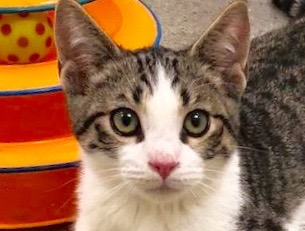 [picture of Hunnicut, a Domestic Short Hair brown tabby/white\ cat]