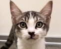 A picture of #ET02457: Mulcahy a Domestic Short Hair gray tabby/white