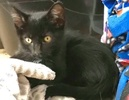A picture of #ET02458: Momo a Domestic Short Hair black