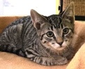 A picture of #ET02459: Jojo a Domestic Short Hair brown tabby/white