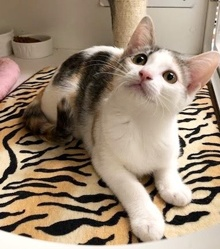 [another picture of Bonnie, a Domestic Short Hair dilute calico\ cat]