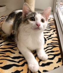 [picture of Bonnie, a Domestic Short Hair dilute calico cat]
