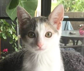 [picture of Bonnie, a Domestic Short Hair dilute calico\ cat]