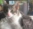 A picture of #ET02461: Ameila a Ragdoll Mix blue/white