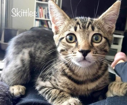 [picture of Skittles, a Domestic Short Hair gray tabby\ cat]