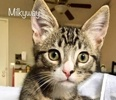 A picture of #ET02463: Milkyway a Maine Coon-x brown/white tabby