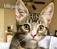 [picture of Milkyway, a Domestic Short Hair gray/white tabby\ cat]