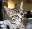 A picture of #ET02464: Kisses a Domestic Short Hair gray/white tabby